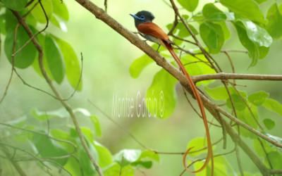 El monarca colilargo en el rio Kwando