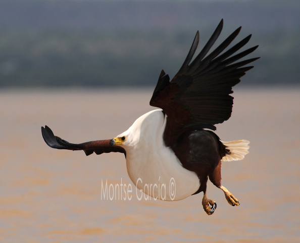 If African Fish Eagle ate fast food