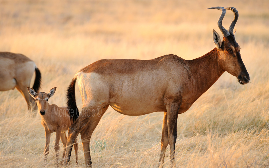 Red Hartebeest curiosities
