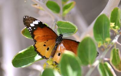 La mariposa monarca africana
