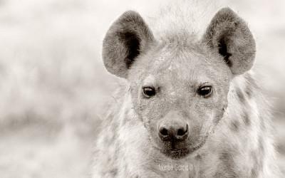 Etosha spotted hyenas