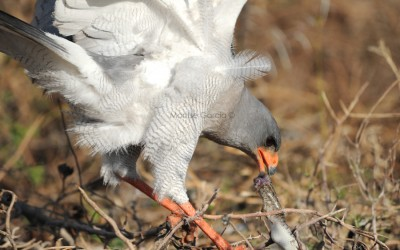 The (southern) pale chanting goshawk