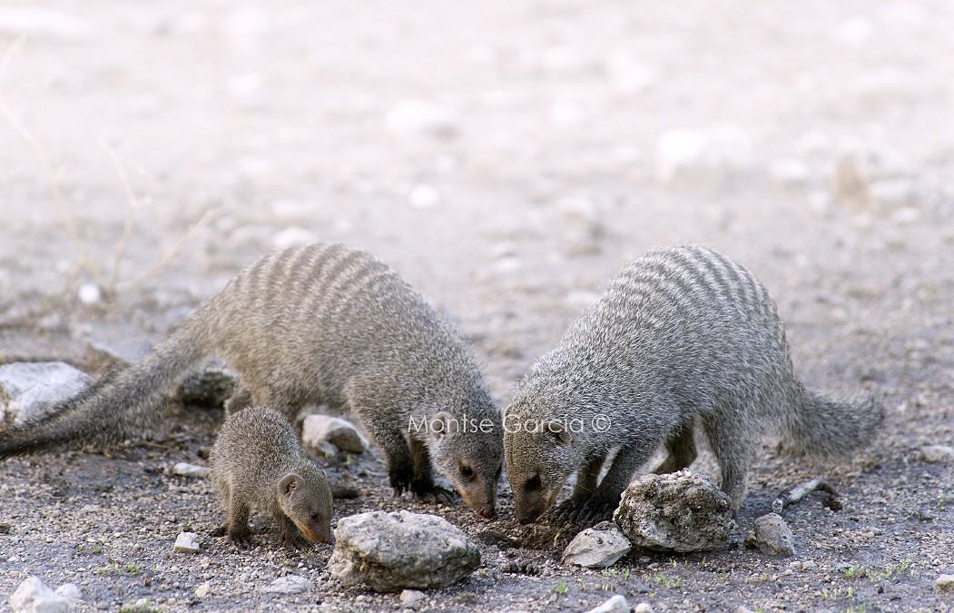 La mangosta rayada