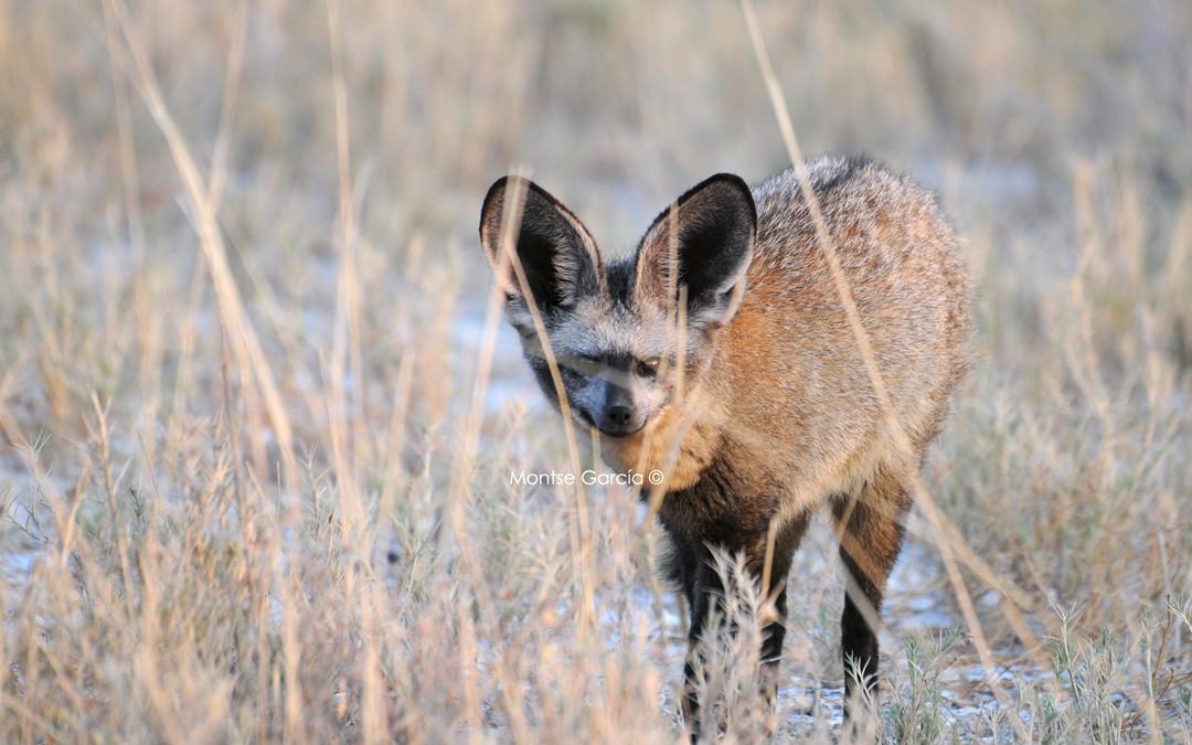 El Otoción o zorro orejudo
