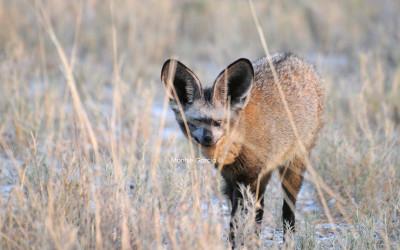 El zorro orejudo de El Cabo