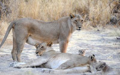 La manada y su dependencia con el león dominante
