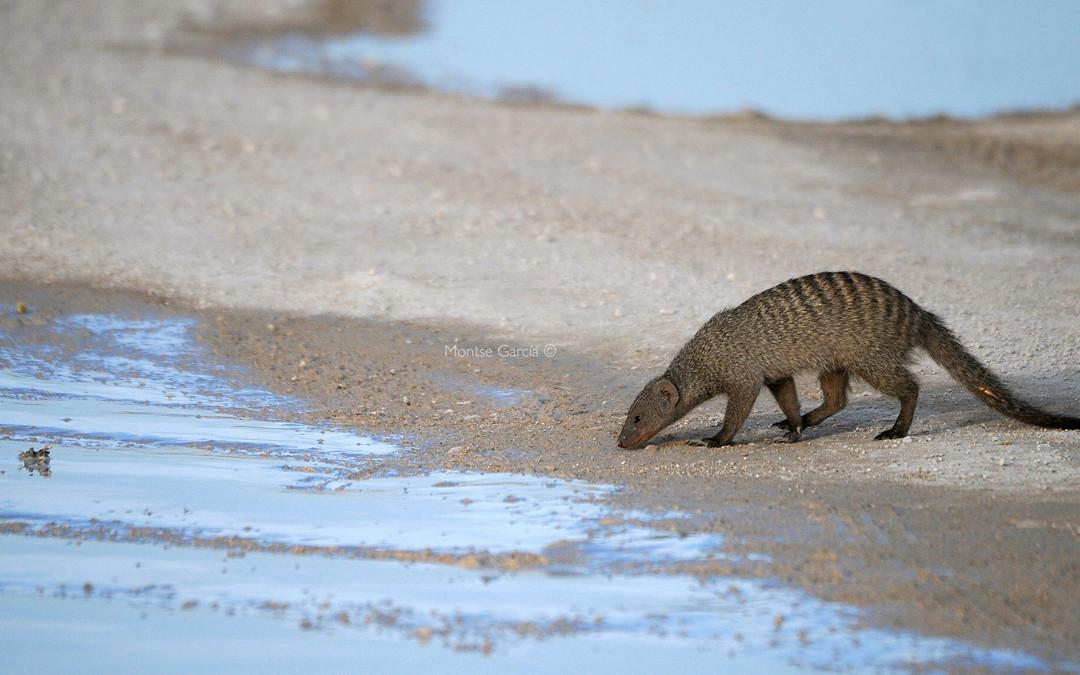 El mundo de la mangosta rayada